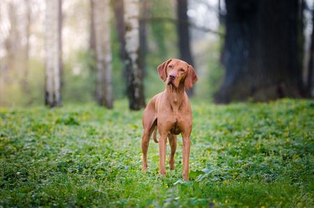 Hungarian hound dog vizsla