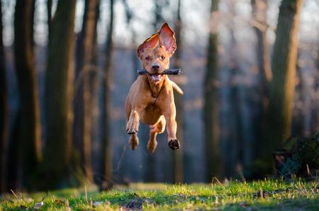 running hungarian vizsla hunter dog