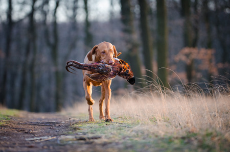 hungarian pointer: Hungarian hound dog in forrest in spring time Stock Photo
