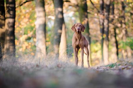 generosa: Perro de caza de puntero húngaro