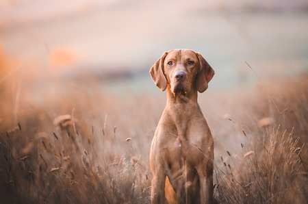 Hungarian hunter dog vizsla