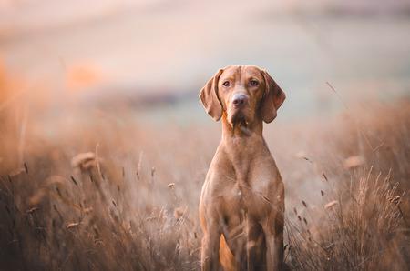 Hungarian hunter dog vizsla