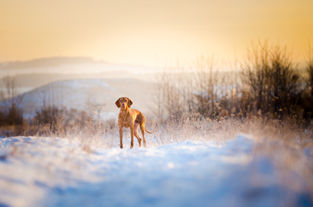 hungarian pointer: Hungarian hound dog in winter on snow Stock Photo
