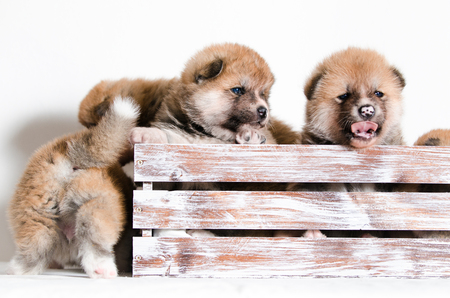 Puppies dog Akita breed