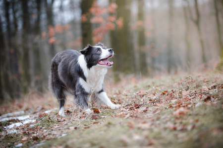 generosa: Border collie in the forrest in winter time