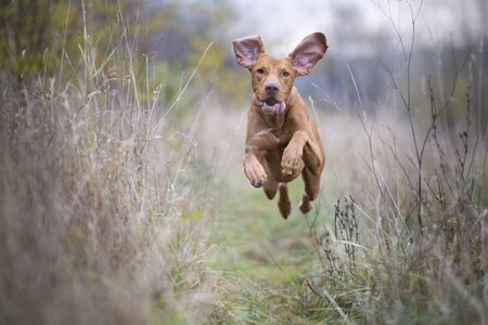 hungarian pointer: Photo of hungarian flying hunter dog in autumn time