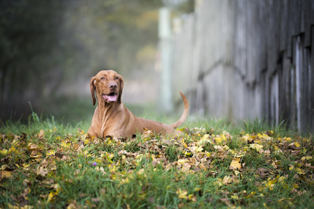 Portrait of hungarian hound dog in autumn Stock Photo