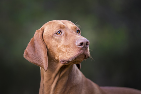Photo of Head of hungarian hound dog
