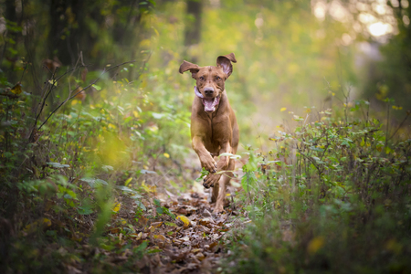 hungarian pointer: caption of flying running happy dog in autumn time
