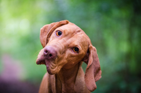 Portrait of hungarian vizsla hunter dog Stock Photo