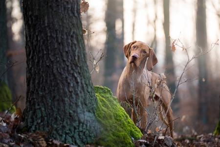 Pies gończy krótkowłosy węgierski w lesie