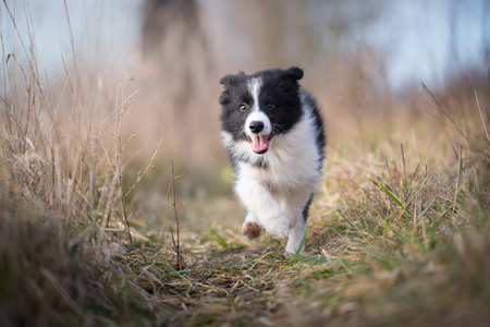 Running border collie puppy in winter time Stock Photo