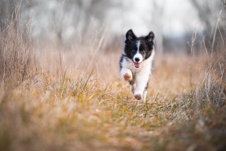 Running border collie puppy in winter time Foto de archivo