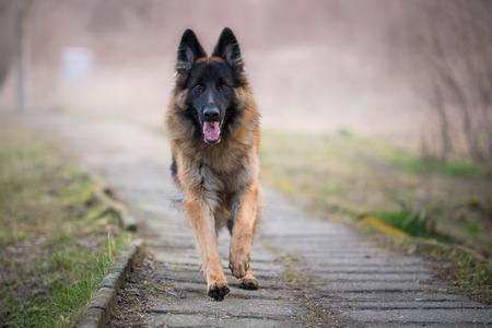 Running german shepherd dog in winter on a concrete path