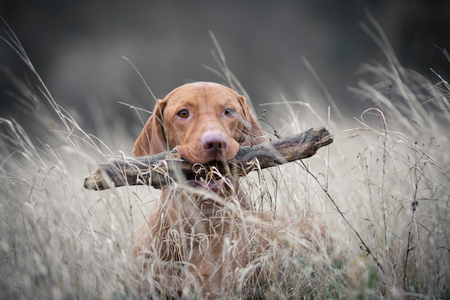 Hungarian hound vizsla dog with branch in his mouth