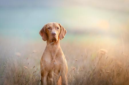 Hungarian hound pointer vizsla dog in autumn time in the field Foto de archivo