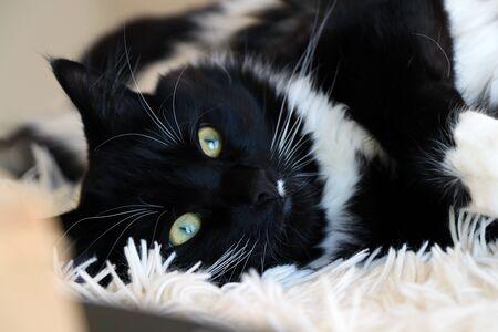 Cute Black And White Ragdoll Cat, Lying on Fluffy Blanket