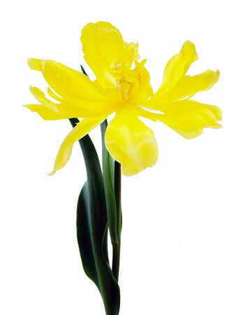 Flowering tulip Stock Photo
