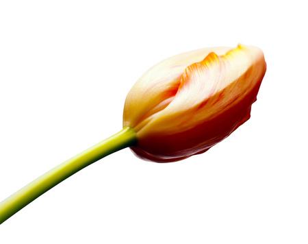 humble: Tulip of a hard bud Stock Photo