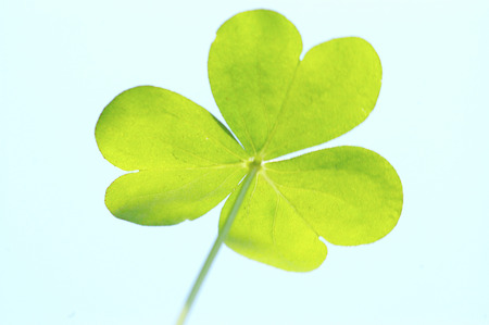 three-leaf clover Stock Photo