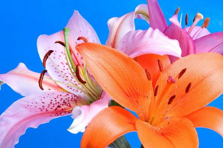 White, orange, and pink daylilies on a field of blue. Stock Photo - 509980