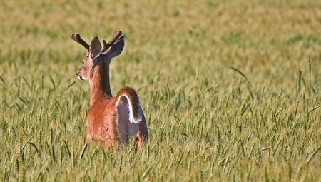 bounding: Frightened white tailed buck deer bounding off through a field of wheat. Stock Photo
