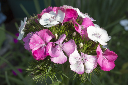 Sweet William Dianthus Flowers in Pinks and White Reklamní fotografie
