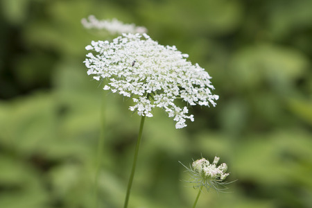 queen anne   s lace: Queen Anne s Lace Wildflower Stock Photo