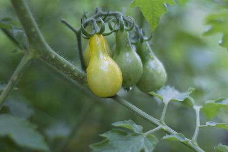 vine pear: Yellow Pear Tomato on the Vine Stock Photo