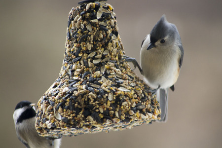A Chickdee and Titmouse share a birdfeeder
