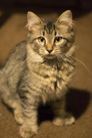 housepet: A striped kitty