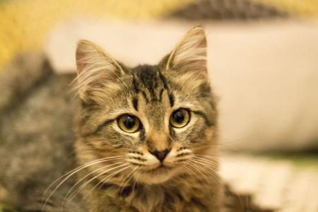 housepet: A portrait of a kitten