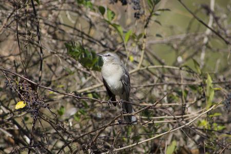 mockingbird: Northern Mockingbird profile