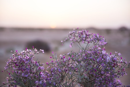 erica: Bright violet flower in desert. Selective soft focuse and boke on background