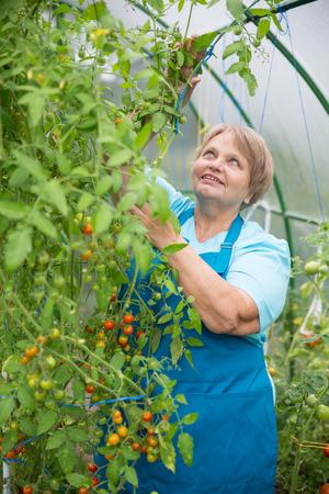 pensioner: Senior pensioner woman gardening in greenhouse Stock Photo