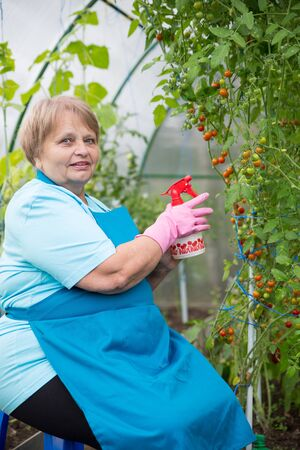 hothouse: Pensioner woman planting in hothouse