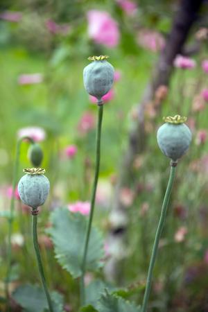 codeine: Poppy head flowers on green background. Selective soft focus Stock Photo
