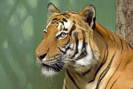 Tiger head closeup Stock Photo