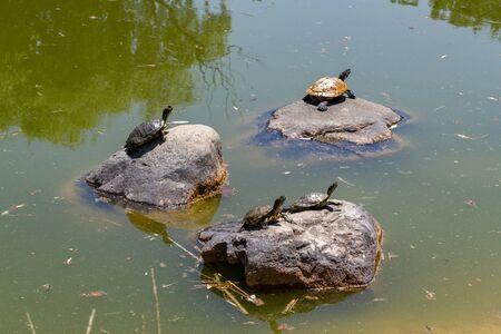 Water turtles Stok Fotoğraf
