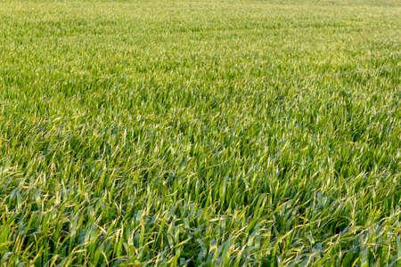 Green grass field isolated background 版權商用圖片