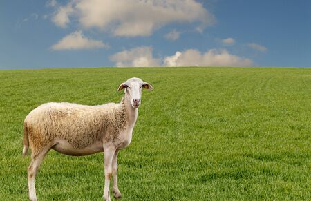 A sheep on the green grass is looking at the camera