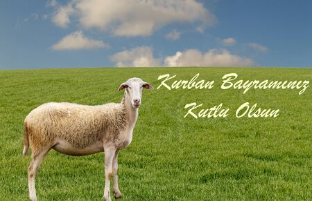 Muslim sacrifice feast celebration and greeting. (English: Happy Sacrifice Feast) Muslim community holy day. Sheep on the green gras is looking at the camera