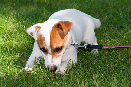 Jack Russell Terrier Stock Photo - 5330112