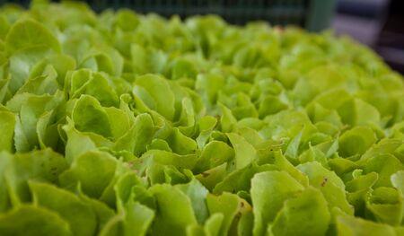 background of lettuce seedlings cluster well photo