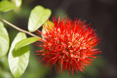 lawson: Thailand powderpuff,  Finger Lies on the Ground, Combretum constrictum  Benth   M A Lawson