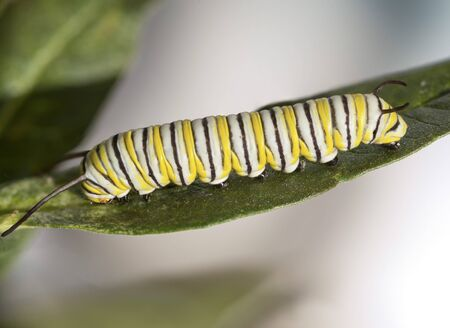 emergence: Monarch Caterpillar Stock Photo