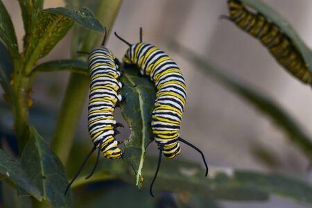 emergence: Monarch Caterpillars Stock Photo