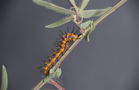 Fritillary Caterpillar