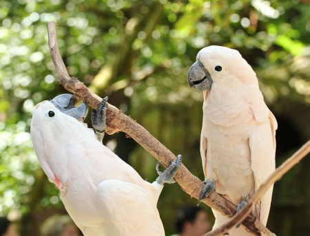 Two white parrots are converse  photo