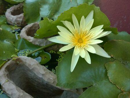 white: White lotus in garden.